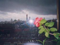 a rose blooms in moscow